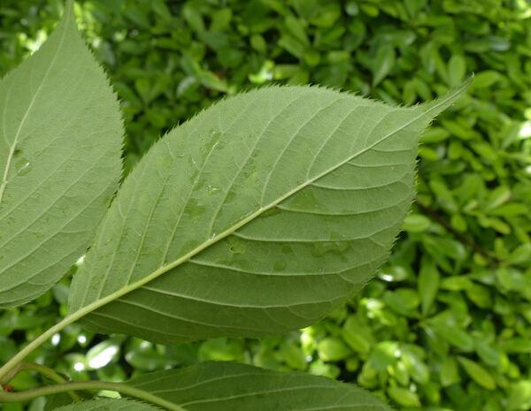 Prunus serrulata Lindl. 'Fugenzo'