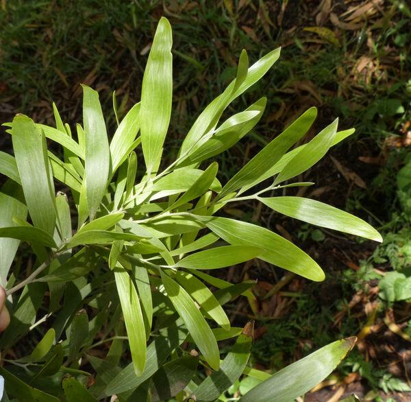 Acacia melanoxylon R.Br.