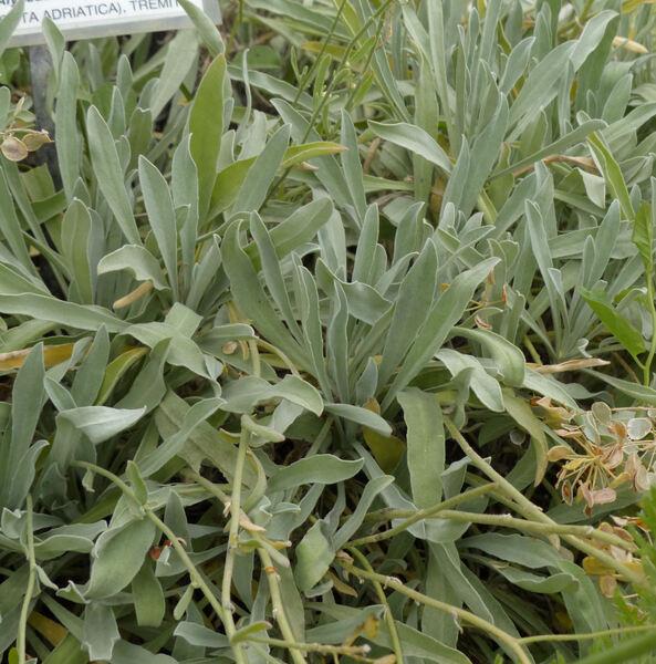 Aurinia leucadea (Guss.) K.Koch