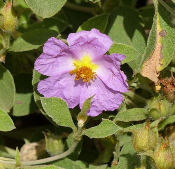 Cistus creticus L.
