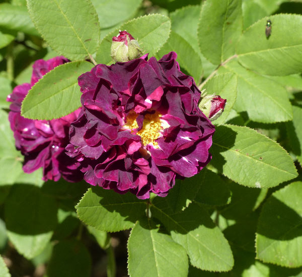 Rosa 'Capitaine John Ingram'