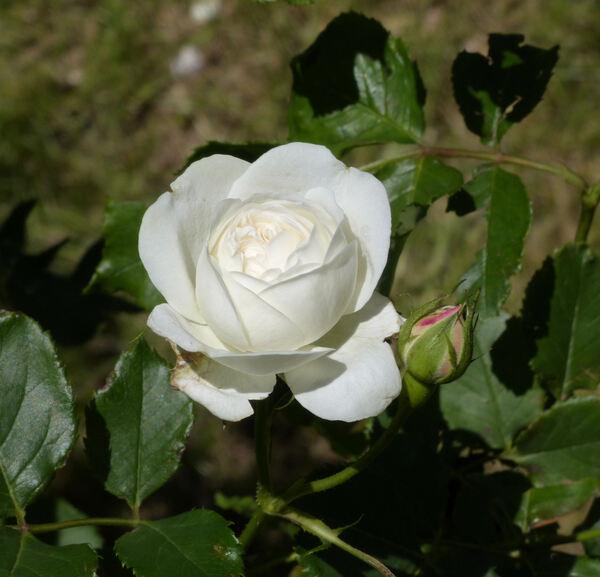 Rosa 'Boule de Neige'