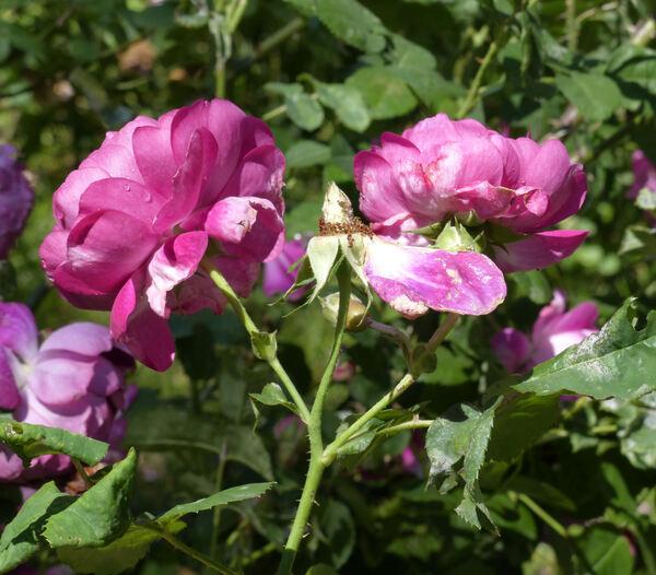 Rosa 'Great Western'