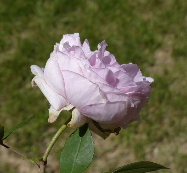 Rosa 'Madame Ernest Calvat'