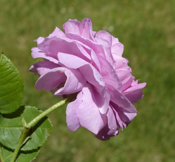 Rosa 'Gros Choux d'Hollande'