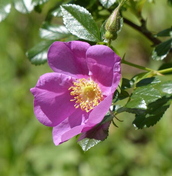 Rosa 'Ayrshire Queen'