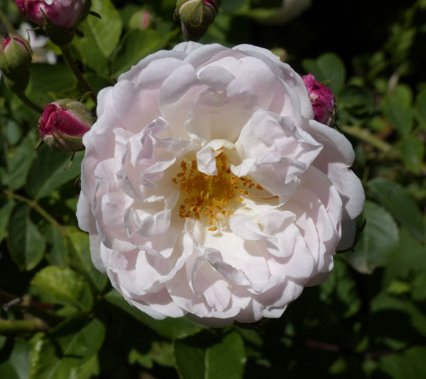 Rosa 'Baltimore Belle'
