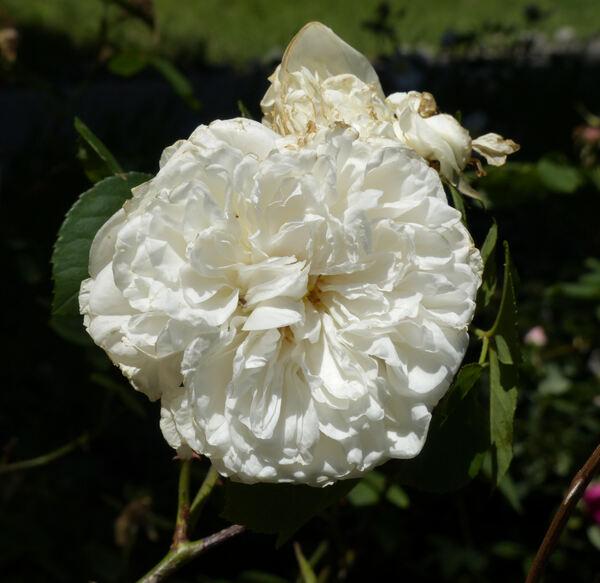 Rosa 'Hume's Blush'