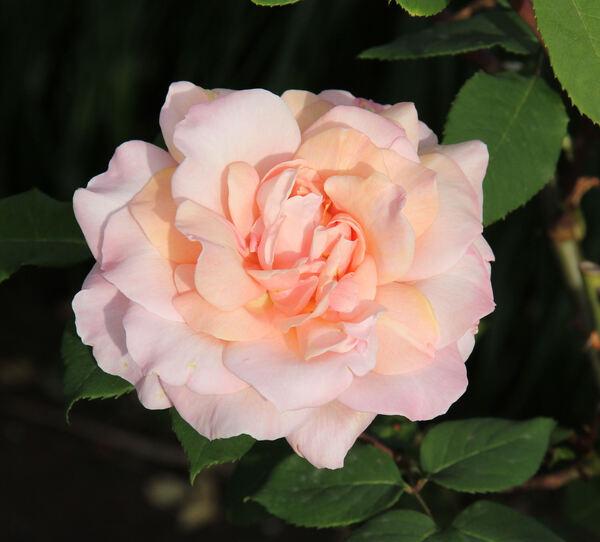Rosa 'Michèle Meilland'