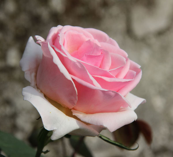 Rosa 'Rose Céleste ®'