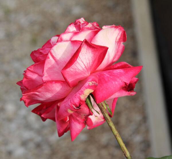 Rosa 'Rina Herholdt'