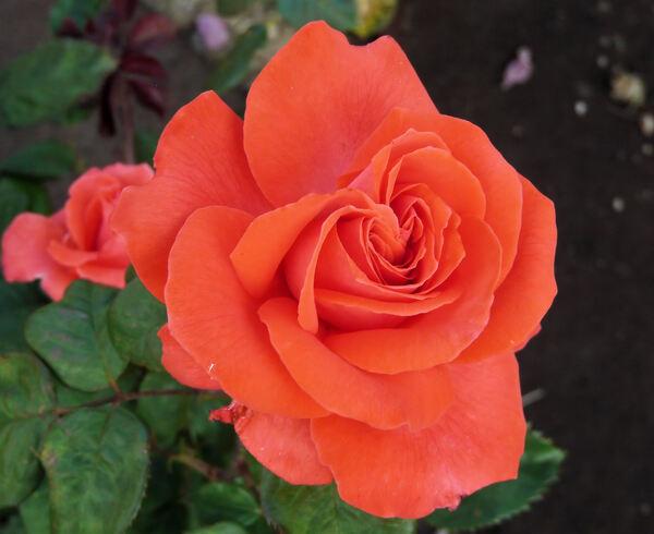 Rosa 'Aventure n°2'
