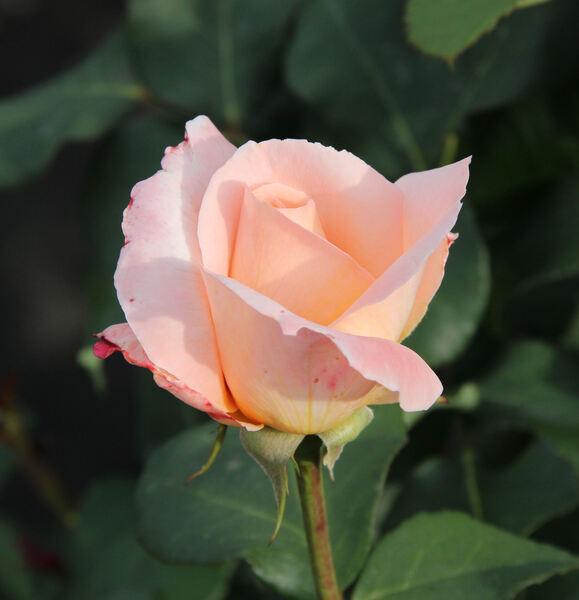 Rosa 'Tendresse ®'