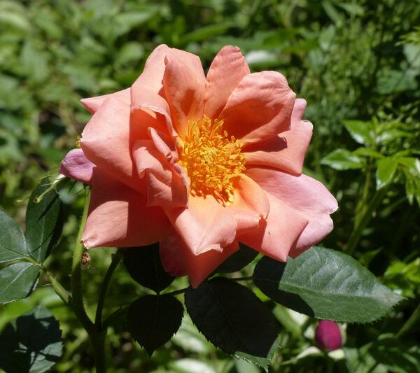 Rosa 'Madame Edouard Herriot'