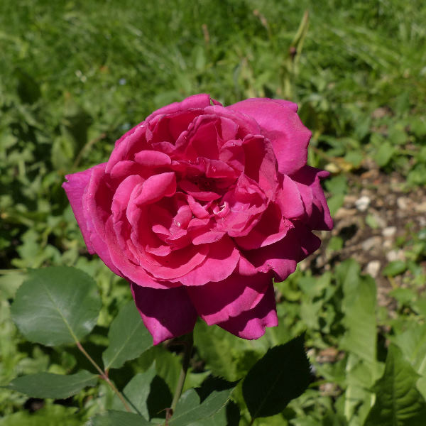 Rosa 'Eugène Boullet'