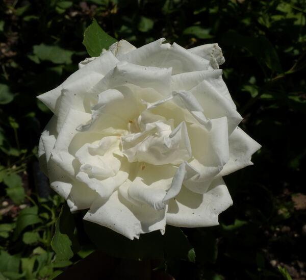 Rosa 'Jacques Porcher'