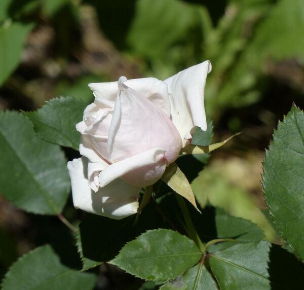 Rosa 'Grâce Molyneux'
