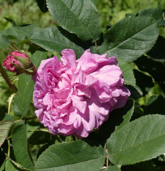 Rosa 'Panachée de Lyon'