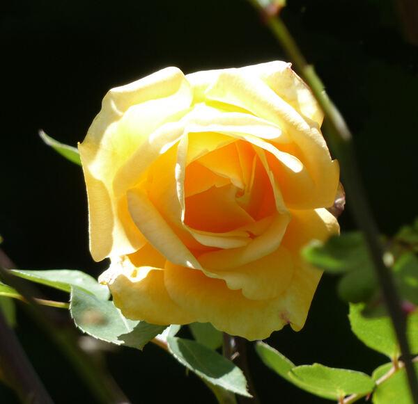 Rosa 'Lady Hillingdon, Cl.'