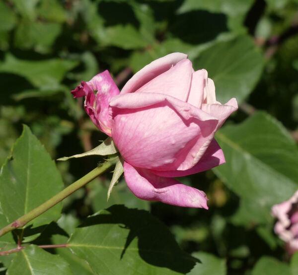 Rosa 'Freiherr von Marschall'