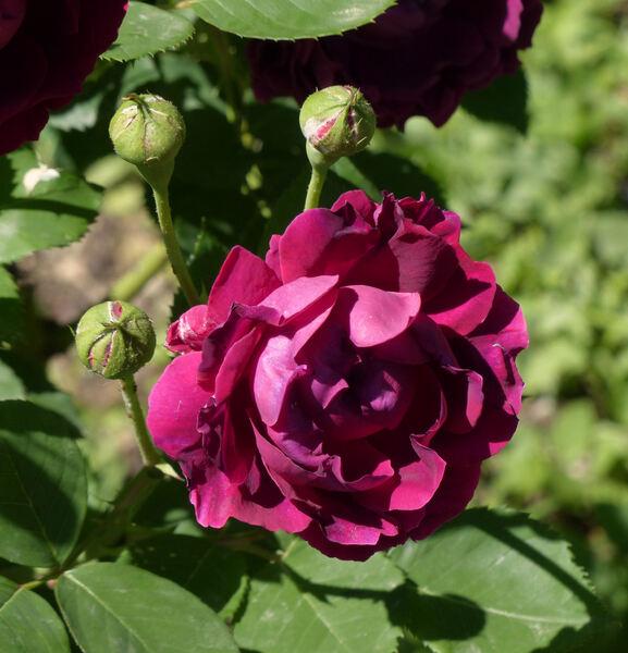 Rosa 'Oskar Cordel'