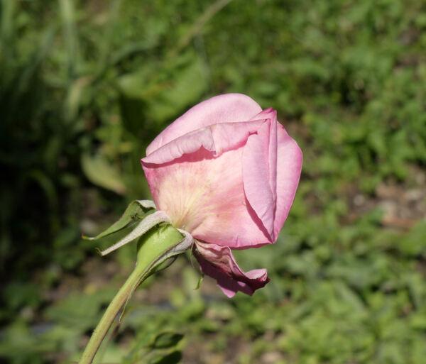 Rosa 'Comtesse Renée de Béarn'