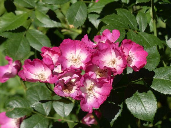 Rosa 'Papa Hémeray'