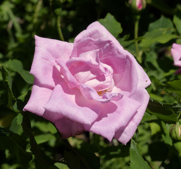 Rosa 'Georg Arends'