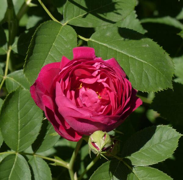 Rosa 'Parkzierde'