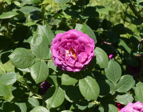 Rosa 'Zigeunerknabe'