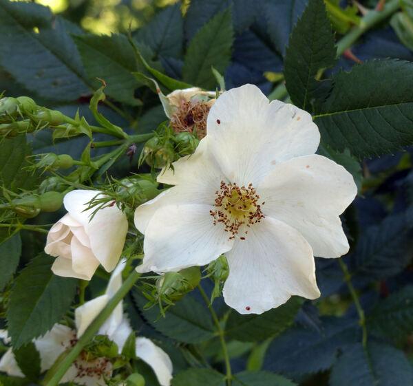 Rosa 'Julia Mannering'