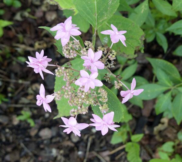 Hydrangea serrata (Thunb.) Ser. 'Mikata Yae'