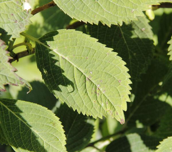 Hydrangea serrata (Thunb.) Ser. 'Woodlander'
