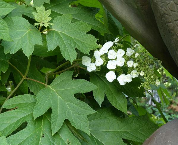 Hydrangea quercifolia Bartr. 'Applause'