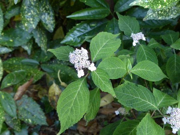 Hydrangea serrata (Thunb.) Ser. 'Miranda'