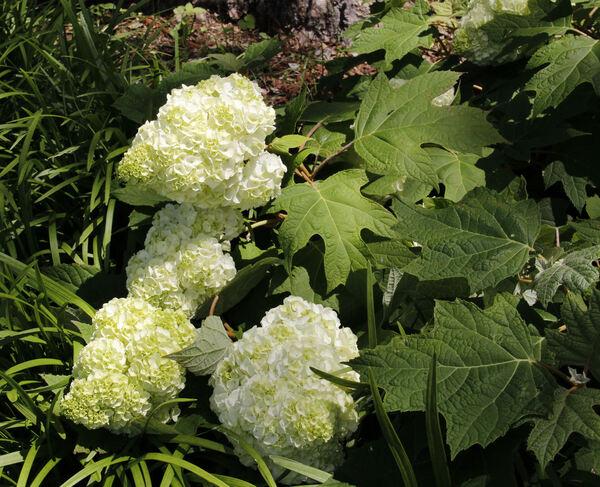 Hydrangea quercifolia Bartr. 'Harmony'