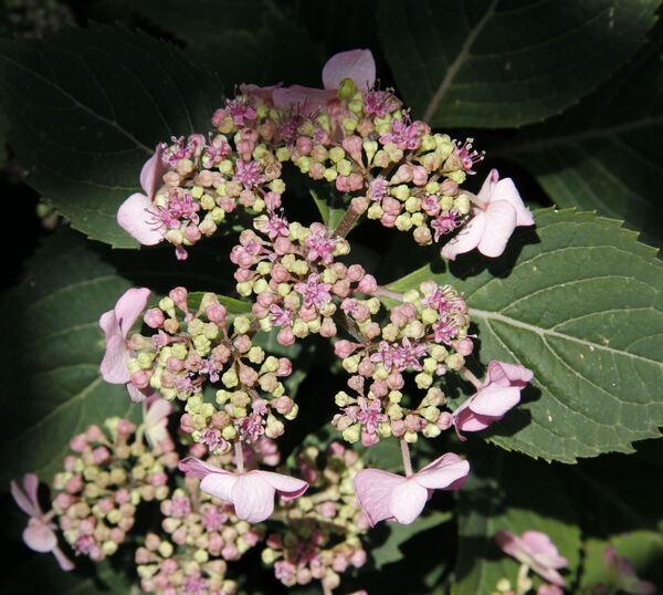 Hydrangea serrata (Thunb.) Ser. 'Maiko'