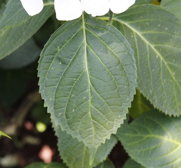 Hydrangea macrophylla (Thunb.) Ser. 'White Wave'