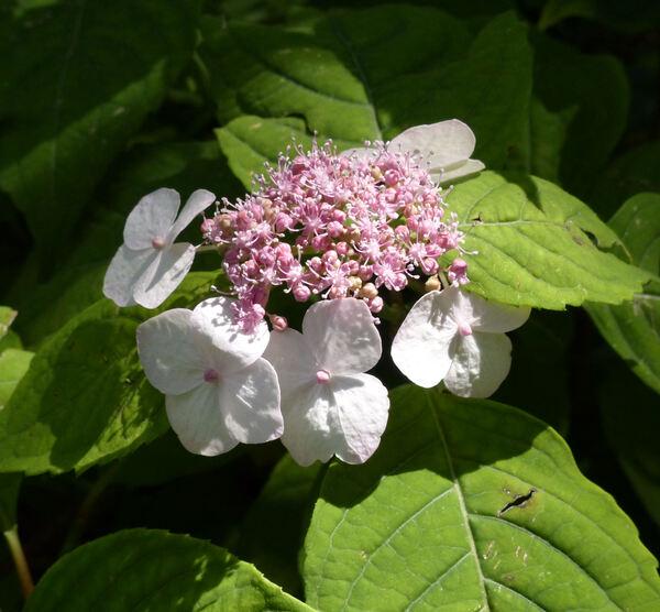 Hydrangea serrata (Thunb.) Ser. 'Chishima'