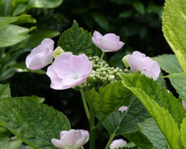 Hydrangea macrophylla (Thunb.) Ser. 'Hovaria Hobella ®'