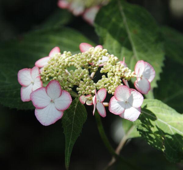 Hydrangea serrata (Thunb.) Ser. 'Kiyosumisawa'