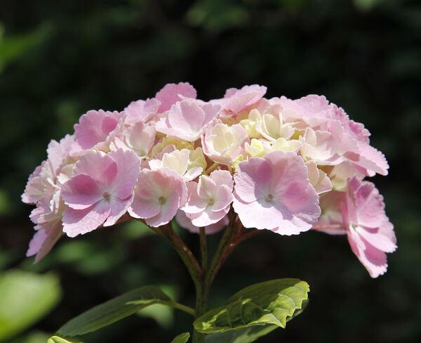 Hydrangea macrophylla (Thunb.) Ser. 'Hovaria Homigo'