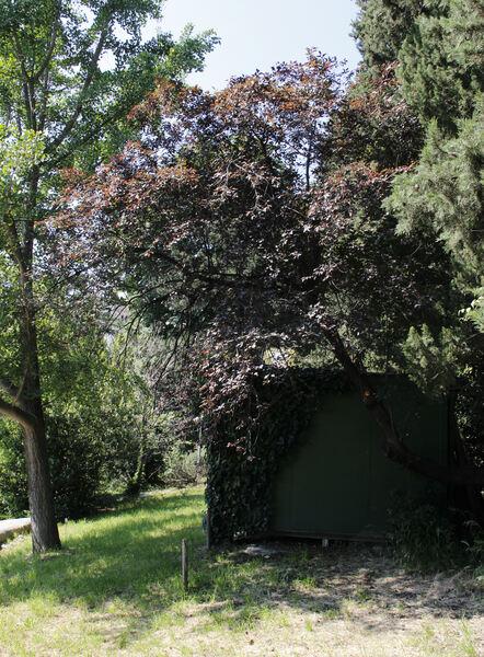 Prunus cerasifera Ehrh. 'Pissardii'