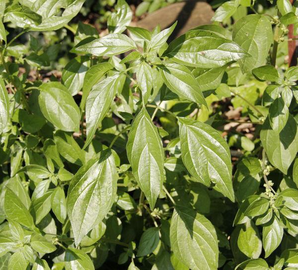 Parietaria officinalis L.