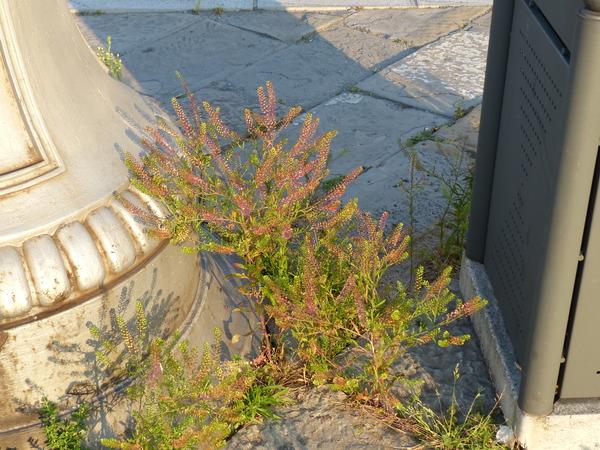Lepidium virginicum L. subsp. virginicum