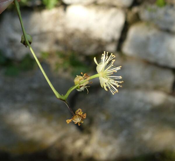 Tilia platyphyllos Scop.