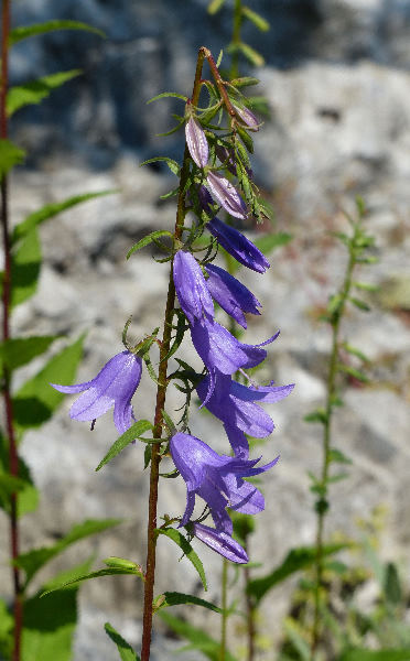 Campanula rapunculoides L. subsp. rapunculoides