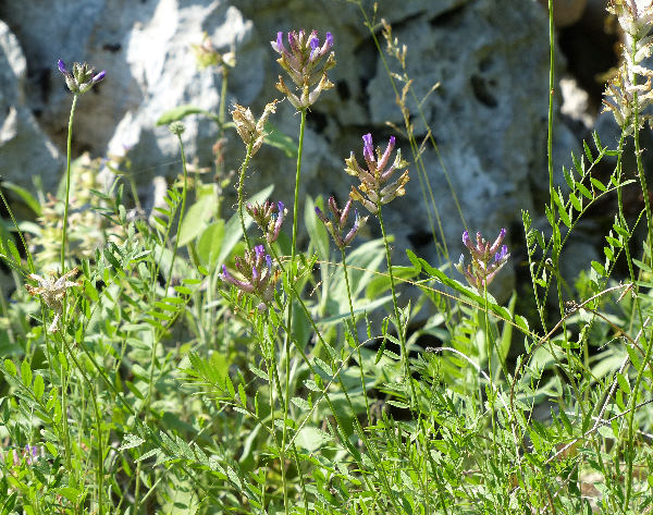 Astragalus monspessulanus L. subsp. wulfenii (W.D.J.Koch) Arcang.