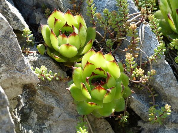 Sempervivum tectorum L.
