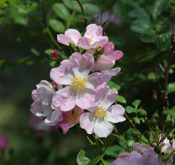 Rosa multiflora Thunb. var. cathayensis Rehder & E. H. Wilson